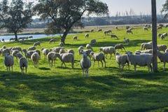 Flock av får som betar i det gröna fältet med holmekar och en sjö, på en solig dag arkivbild