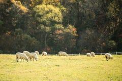 Flock av får som betar i en kulle Arkivfoton