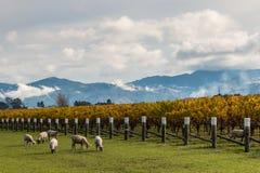 Flock av får som betar i höstvingård royaltyfria foton