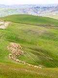 Flock av får som betar i Tuscany kullar Arkivbild