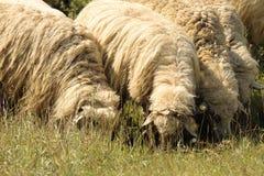 Flock av får som betar på äng Arkivbilder