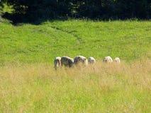 Flock av får som betar på äng arkivbild