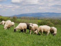 Flock av får som betar på en äng Royaltyfri Fotografi