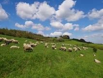 Flock av får som betar på en äng Royaltyfria Foton
