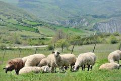 Flock av får som betar på en äng Arkivfoto