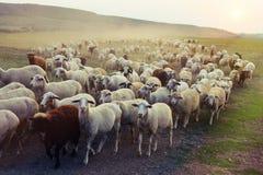 Flock av får som betar på solnedgången Arkivfoto