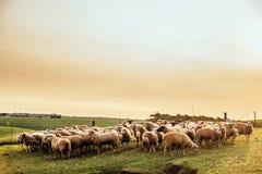 Flock av får som betar på solnedgången Arkivbild