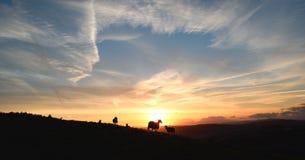 Flock av får som betar på soluppgång arkivfoton