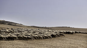 Flock av får som går i drösar Arkivbild