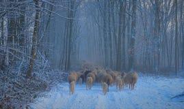Flock av får som går trogh träna arkivbilder