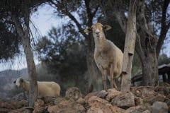 Flock av får som väntar på herden Royaltyfria Bilder