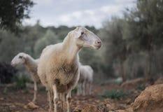 Flock av får som väntar på herden Fotografering för Bildbyråer