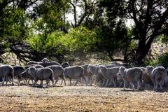 Flock av får, Tasmanien royaltyfri bild