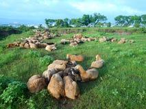 Flock av får tillsammans Royaltyfria Bilder