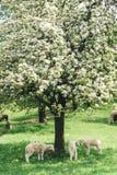 Flock av får under ett träd arkivfoton