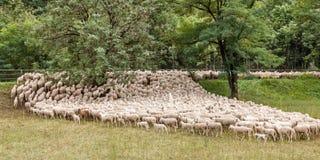 Flock av får under transhumance royaltyfri fotografi