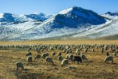 Flock av får vid de snöig bergen arkivfoton