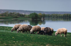 Flock av får vid sjön Royaltyfria Bilder