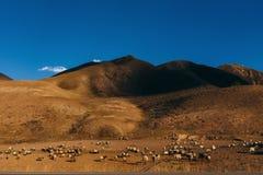 Flock av fåren på ett fält nära till berget i Kina Arkivbilder