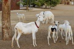 Flock av fåret arkivfoton