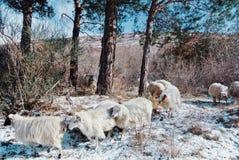 Flock av fårspring till och med pinjeskogen i bergen royaltyfri bild