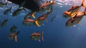 Flock av fisken under havet i sökande av mat lager videofilmer