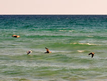 Flock av fiskmåsar Arkivbild