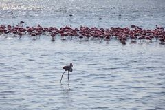 Flock av flamingo royaltyfri bild