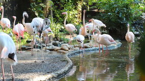 Flock av flamingo stock video