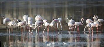 Flock av flamingo i vatten Royaltyfria Foton