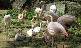 Flock av flamingo i ZOO av Jihlava i Tjeckien arkivbild
