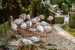 Flock av flamingo i zoo fotografering för bildbyråer