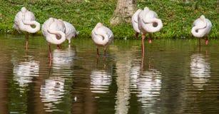 Flock av flamingo III royaltyfri bild