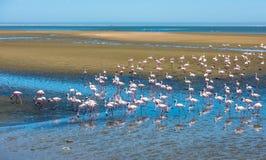 Flock av flamingo på den Walvis fjärden, Namibia arkivfoto