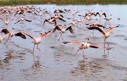 Flock av flamingos Arkivfoto