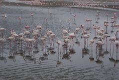 Flock av flamingos arkivbild