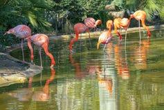 Flock av flamingos royaltyfria bilder