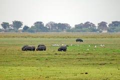 Flock av flodhästar som betar i den Chobe nationalparken arkivfoton