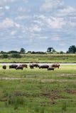 Flock av flodhästen som betar nära den Chobe floden, Botswana Royaltyfri Foto