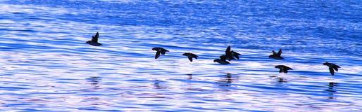 Flock av flyglunnefåglar royaltyfri bild