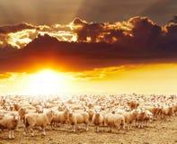 Flock av får Fotografering för Bildbyråer