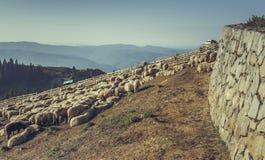 Flock av får i fårpenna Arkivfoton