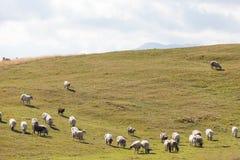 Flock av får på grönt gräs Arkivbilder