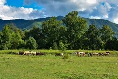 Flock av fridsamma betande hästar Arkivbilder