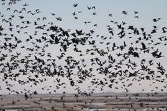 Flock av gäss över en Marsh Royaltyfri Foto