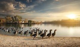 Flock av gäss Royaltyfri Foto