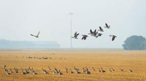Flock av gäss som flyger över ett fält Arkivbild