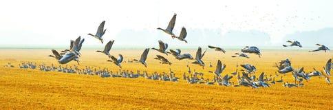 Flock av gäss som flyger över ett fält Royaltyfri Foto
