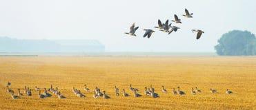 Flock av gäss som flyger över ett fält Fotografering för Bildbyråer