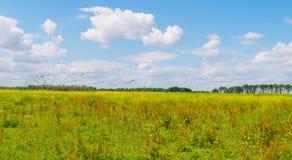 Flock av gäss som flyger över ett fält i sommar Royaltyfria Foton